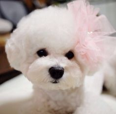 My favourite doggies.hopefully Santa will bring me one xXx Pink Bichon Frise Bichon Frise, Bichon Dog, Teacup Chihuahua, I Love Dogs, Puppy Love, Jiff Pom, Baby Animals, Cute Animals, My Bebe