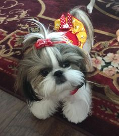 """Check out our website for additional information on """"Shih tzus"""". It is actually an exceptional area to get more information. Baby Shih Tzu, Shih Tzu Puppy, Shih Tzus, Teacup Puppies, Cute Puppies, Cute Dogs, Dogs And Puppies, Doggies, Perro Shih Tzu"""