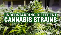 Learn How Different Strains Of Cannabis Affect You