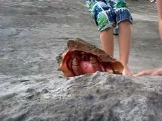 Giant hermit crab in a huge conch shell