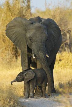 <3 An Elephant Mom ~ With Her Young Calf.  <3