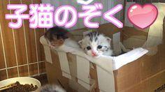 あいちゃんの子猫達のぞく【可愛いスコティッシュフォールド子猫動画】ブリーダー販売