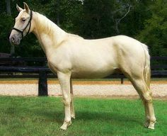 Tennessee Walking Horse junior stallion. He is gold champagne, not cremello or light palomino. photo: walkn horse crazy.