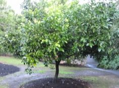 Black Sapote: Chocolate Pudding Fruit Maher variety grows to 4m