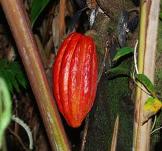Trade Winds Fruit - Theobroma cacao - Cacao, red fruited, $5.50 (http://www.tradewindsfruit.com/theobroma-cacao-cacao-red-fruited-seeds)