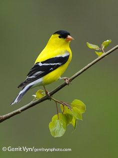 American Goldfinch - Introduction   Birds of North America Online