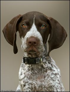 ♥GSP♥ 4 GERMAN SHORTHAIRED POINTER FACE | How could you resist that floppy little face? ^^