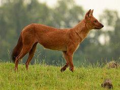 indian wild dog (Dhole - cuon alpinus)
