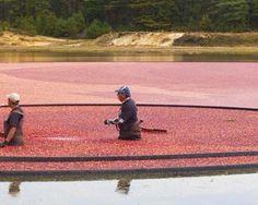 Viaggio nella Terra del Frutto Nazionale Americano  #mirtilli #cranberries #cranberry #dried #fruit #america #land #american #fruttaebacche