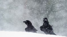 Raven, Penguins, Winter, Animals, Collection, Winter Time, Animales, Animaux, Ravens