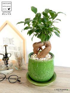 Ficus microcarpa  Chinese Banyan、Malayan Banyan 風合いある つぼ型 陶器鉢 ガジュマル(多幸の木) Ficus Microcarpa, Amazing Gardens, Bonsai, Flora, Planter Pots, Gardening, City, Interior, Garden