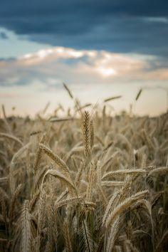 ,where wheat fields touch the sky