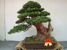Bonzai | Care guide for the Podocarpus Macrophyllus Bonsai tree - Bonsai Empire