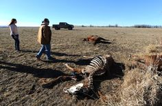 Cross-posted from the Billings-Gazette » by TOM LUTEY LODGE GRASS — The discovery of up to two dozen horses shot dead and dumped in a field has angered people in this reservation town. Residents lo...