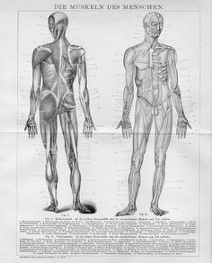 """1894 HUMAN MUSCULATORY SYSTEMS MUSCLES ANATOMY Antique Engraving Print.   Original old German wood engraving print/double page book plate(numbering on the print in red color).  This is authentic antique(not a modern reproduction)beautiful print comes from a German lexicon.  Printed by Bibliographisches Institut Leipzig,Germany,1894.  The overall size of this print with margins approx 12"""" x 10"""" inches."""