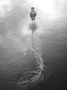 Crocodile or Alligator. Beautiful Creatures, Animals Beautiful, Cute Animals, Animal Fun, Wild Animals, Alligators, Anaconda, Animal Photography, Nature Photography
