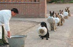"""Academia de policiais da China,  mostra fila d 6 cães esperando seus almoços, segurando seus pratos entre os dentes. Um labrador preto dá início a fila e é seguido por outros 5 pastores alemães. A concentração dos animais é visível pelas orelhas em pé dos últimos 5 animais. """"Um bom cão policial precisa d 4 coisas p/ ser realmente bom: olhar muito atento, grande apetite, coragem e muito 'ciúme' de suas coisas, uma possessão por seus objetos. Podemos ver"""