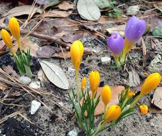 Purple and Yellow Crocus - Early Spring Flowers