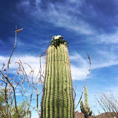 Cactus blooming while basking in the sun in Mesa, Arizona.