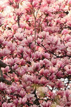 Magnolia trees in bloom. Natures pink umbrella.