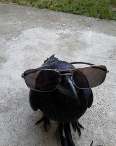 "avas-poltergeist: "" Crow and Raven Arrow. avas-poltergeist: "" Crow and Raven Arrow. "" – … avas-poltergeist: "" Crow and Raven Arrow. Baby Animals, Funny Animals, Cute Animals, Animal Fun, Crows Ravens, Tier Fotos, Funny Animal Pictures, Reaction Pictures, Animal Memes"
