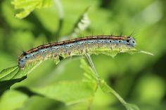 Kostenloses Foto: Raupe, Insekt, Behaart, Nahaufnahme - Kostenloses Bild auf Pixabay - 789125