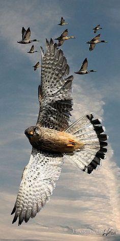 The Perigrin Falcon - World's fastest bird - clocked at 200 mph