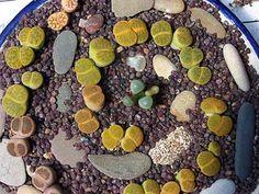 Oregon Cactus Blog: Lithops Labyrinth