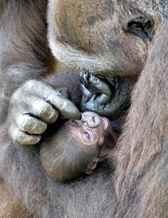 The Gorilla is the largest primate existing today. The Gorilla is one of the most endangered species. The Mountain Gorillas are on the verge of extinction. Primates, Mammals, Animals And Pets, Baby Animals, Cute Animals, Beautiful Creatures, Animals Beautiful, Regard Animal, Western Lowland Gorilla