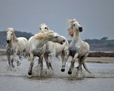 Horses in Camargue, France