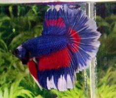 #H22 US Red White & Blue Multicolor Halfmoon HM Male Betta Splendens Live Fish