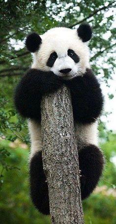 janetmillslove: baby panda bear ✿⊱╮ moment love