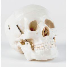 Life Size Human Skull Skull Model, Human Skull, Skulls, Life, Models, Beautiful, Templates, Skeletons, Fashion Models