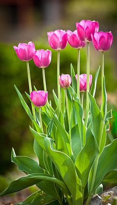 Hot pink tulips..