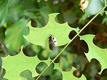 Люцерновая пчела-листорез —Одиночные пчёлы. Ячейки своих гнёзд, содержащих одно яйцо и запас пыльцы, выстилают кусочками листьев люцерны, роз, шиповника, бирючины. Эти вырезаемые ими кусочки имеют округлую форму и вреда растению такие надрезы не приносят, так как пчёлы не нарушают их сосудистую систему.