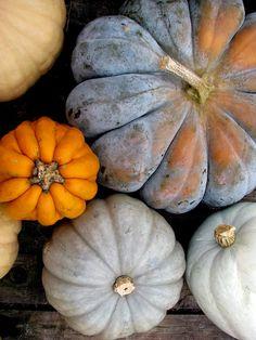 Poster Size - Pumpkin photograph - Gray and orange pumpkins on weathered wood - fine art photograph - Heirloom Pumpkins