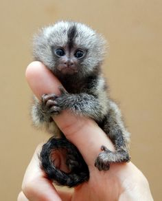 From the rainforests of South America...check out these finger monkeys!!! (a.k.a. pygmy marmosets) The finger monkey is the tiniest living primate in the world. It's so small that it can hold on to your finger. This cute little primate hugs and grips on to your finger so tight that it pulls your heartstrings and you wish you could take it home with you. Finger monkeys are, as a matter of fact, pygmy marmosets. They are also known by the names 'pocket monkey' and 'tiny lion'.