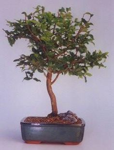 "The World of Real Bonsai by Oxemegifts.com-Native to southern Brazil the Jaboticaba, pronounced in five (5) syllables just as it is spelled, is a member of the Myrtle family and relative of the Guava. The botanical name ""Cauliflora"" means that it flowers and bears fruit on the trunk and mature branches. During it's flowering period the tree is covered in clusters of small white flowers all over the trunk and branches. These eventually develop into dark berries, which are sometimes sold in…"