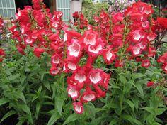 penstemon phoenix red - Google Search Red And White Flowers, Garden Theme, Phoenix, Canada, Blue, Google Search, Blue Garden