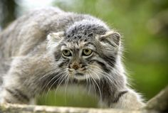 Why The Pallas' Cat Should Become Your New Favorite Animal | Huffington Post