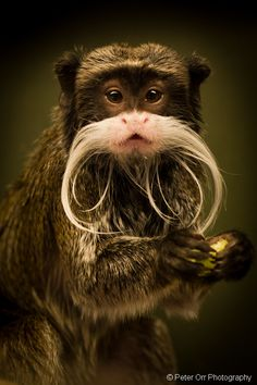 Emperor Tamarin - Explored #67 | Flickr - by Peter Orr