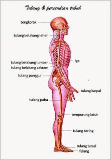 Tulang Tempurung : tulang, tempurung, Anatomi, Manusia, Manusia,, Anatomi,