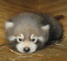 Red Panda #cute #panda