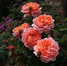 ~'Carding Mill' rose   Antique Roses Forum