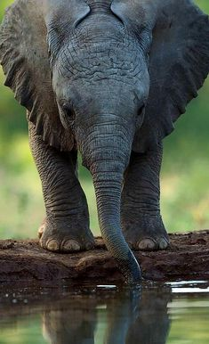 Tender moments of a Elephant Calf taking a drink in Botswana, Africa. - by Greg Du Toit #elephants