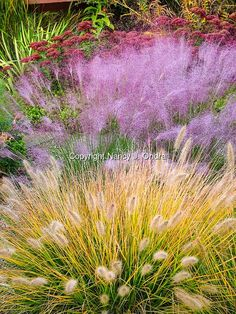 A perennial garden combination in fall (autumn), with 'Cassian' fountain grass (Pennisetum alopecuroides 'Cassian') in fall color with seedheads, and the flowers of pink muhly grass (Muhlenbergia capillaris) #uniquegardeningideas