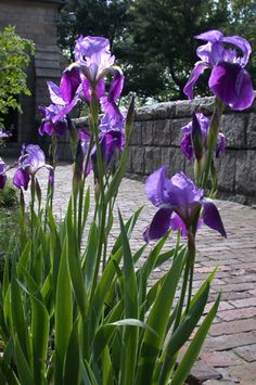 bearded iris - deep violet (iris germanica)