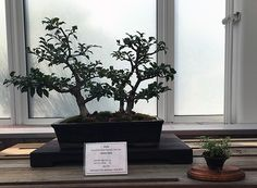Holly Bonsai at the Minnesota Bonsai Society 2016 Mother's Day Show.