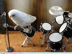 parakeet band  white parakeet plays guitar drums   Via  http://icanhas.cheezburger.com/squee/tag/hall-of-fame