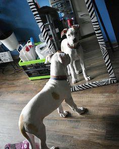 Mirror mirror on the wall...#mirror #mirrorselfie #cute #cutepuppy #puppy #puppiesofinstagram #pet #petsofinstagram #doglover #dogs #dog #dogsofinsta #mastiffsofinstagram #mastiff #pitbull #pitbullsofinstagram #pitbulllove #handsome #handsomeboy #dogsitting #babysitting #babydog #goodboy #love #lover #vanity #mirrormirror #perfect #woof